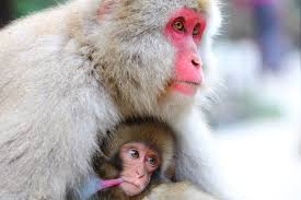 snow_monkey2.jpg